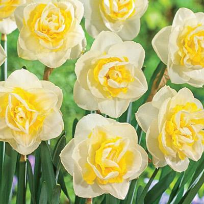 Double Daffodil Jersey Roundabout