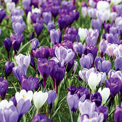 Delft Blue Giant Crocus Mix (C. vernus)