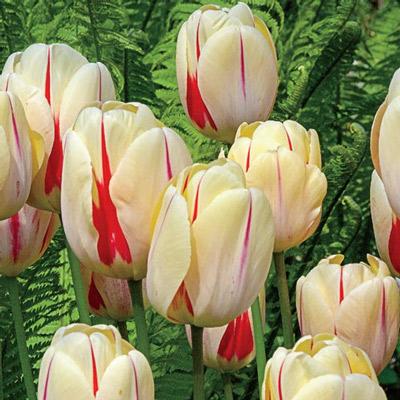 Darwin Hybrid Tulip Burning Heart