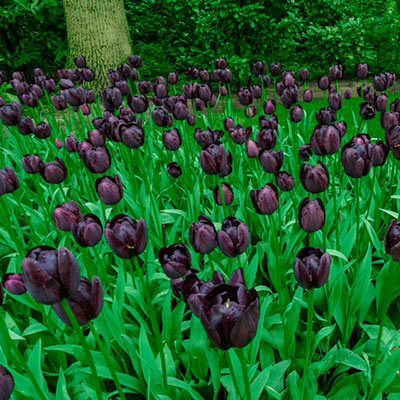 Late-Flowering Tulip Queen of Night