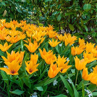 Tulipa praestans Shogun
