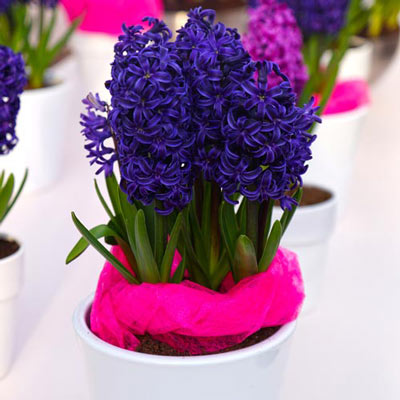 Hyacinth Blue Trophy