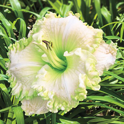 Daylily Green Mystique