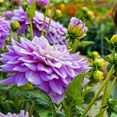 Dinnerplate Dahlia Ferncliff Inspiration