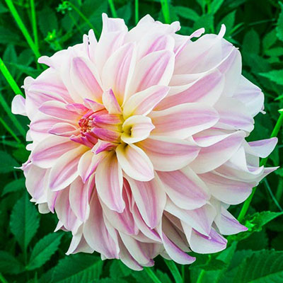 Decorative Dahlia Time for All