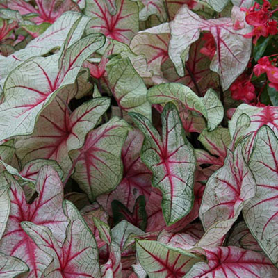 Colorful Shade-Loving Caladium White Queen
