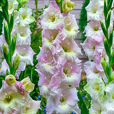 Gladiolus Candy Floss