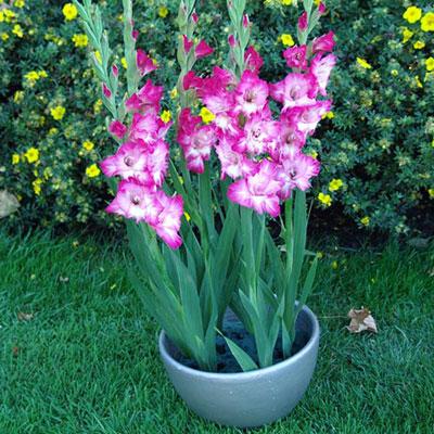 Glamini® Gladiolus Kate