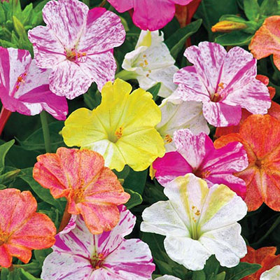 Mirabilis jalapa (Four O'Clocks)