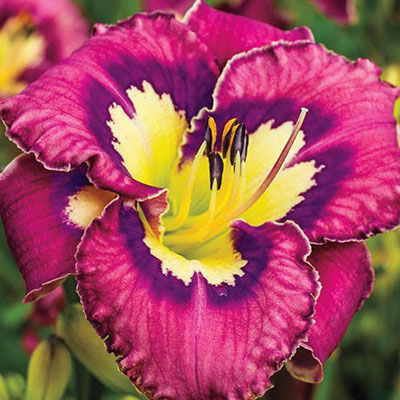 Daylily Catcher in the Eye