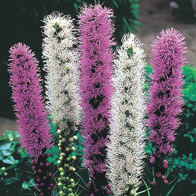 Liatris Mixture