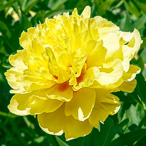 shop peonies at wholesale price