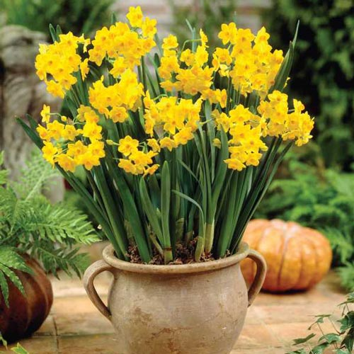 Paperwhite narcissus grand soleil dor k van bourgondien mightylinksfo