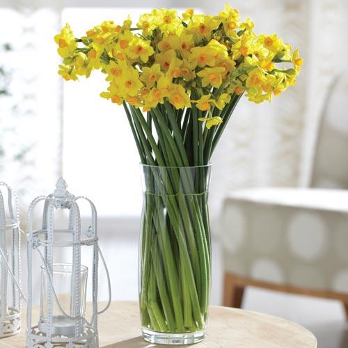 Paperwhite Narcissus Grand Soleil Dor K Van Bourgondien