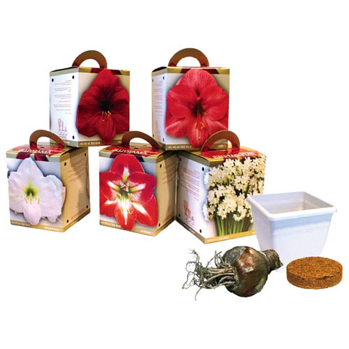 Enlarge icon Collection Amaryllis and Paperwhite Gift Kit