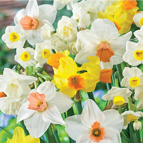 All Spring Daffodil Mix