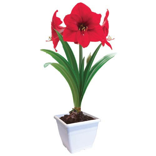 Amaryllis Red Lion Gift Kit