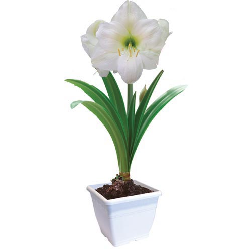 amaryllis mont blanc