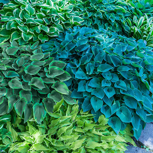Shade Perennials Mixed Hostas From K Van Bourgondien