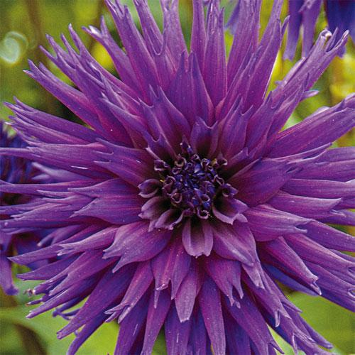 Bright Cactus Dahlia Ambition
