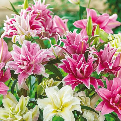 Double Lilies Mixed K Van Bourgondien