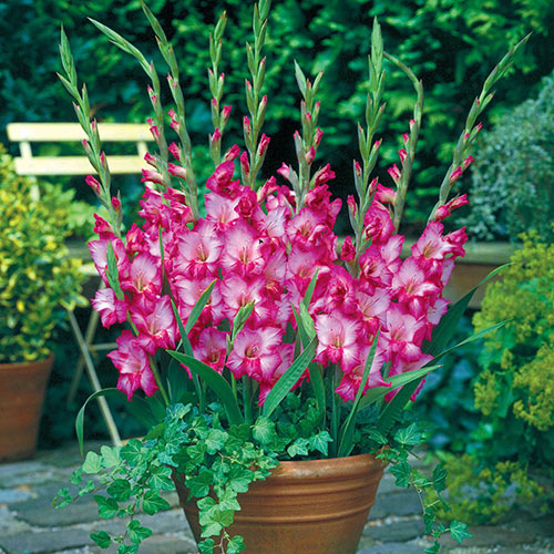 Gladiolus Plum Tart