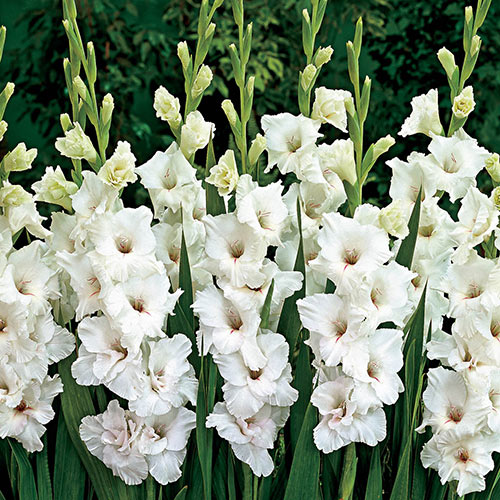 White Gladiolus www pixshark com - Images Galleries With