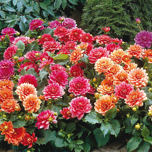 Sun loving dahlias border dahlias mixed from van bourgondien for Flowers that look like dahlias