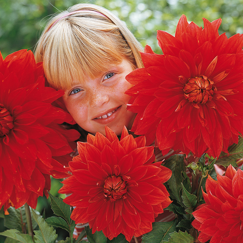 Giant Dinnerplate Dahlia The Big Wow  sc 1 st  Van Bourgondien & Giant Dinnerplate Dahlia The Big Wow | K. Van Bourgondiens