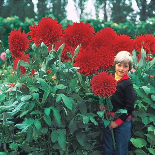 sc 1 st  Van Bourgondien & Giant Dinnerplate Dahlia The Big Wow | K. Van Bourgondiens