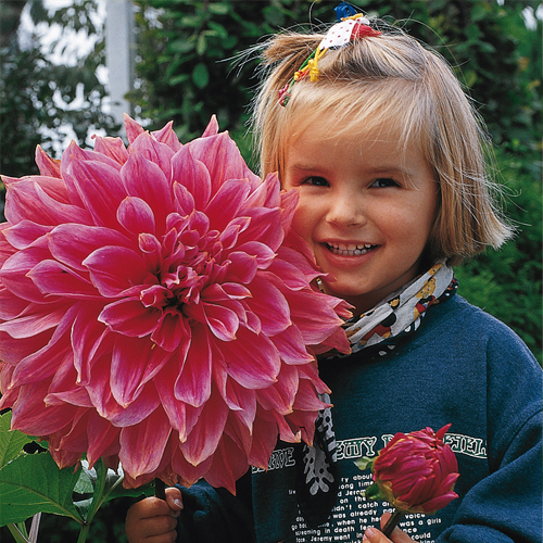 Giant Dinnerplate Dahlia Emory Paul  sc 1 st  Van Bourgondien & Giant Dinnerplate Dahlia Emory Paul | K. Van Bourgondiens