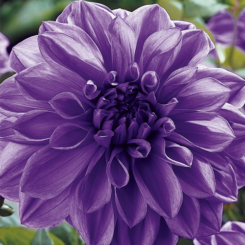 Giant Dinnerplate Dahlia Lilac Time