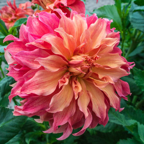 & Sun-Loving Dahlias: Giant Dinnerplate Dahlia Mix