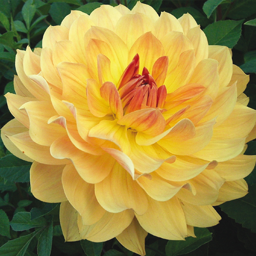 Colorful Decorative Dahlia Tequila Sunrise