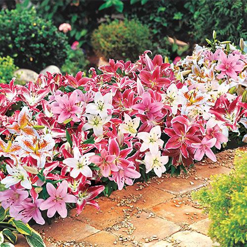 Oriental Border Lilies Mixed K Van Bourgondien