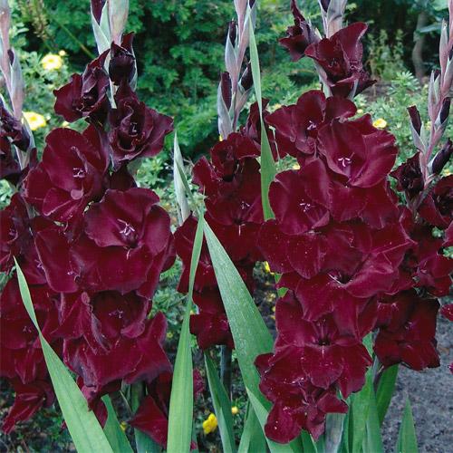 Hybrid gladiolus belle de nuit k van bourgondiens - Belle de nuit plante ...