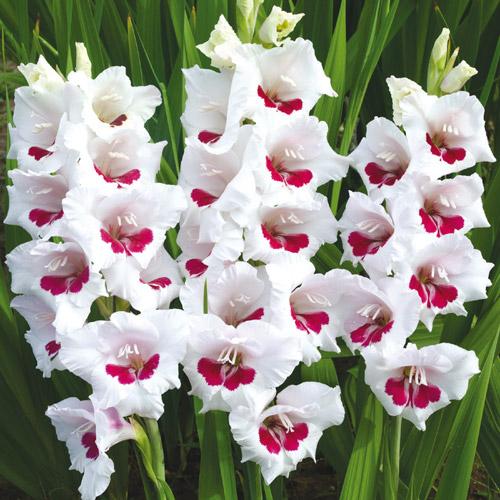 Hybrid Gladiolus Fiorentina