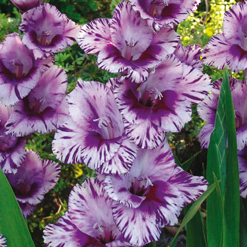 Hybrid Gladiolus Passos