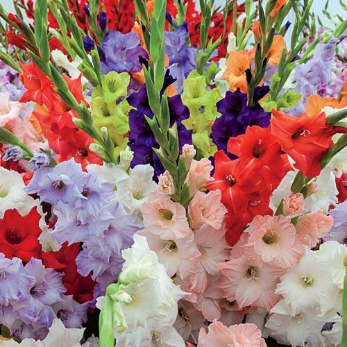 Hybrid Gladiolus Mixture