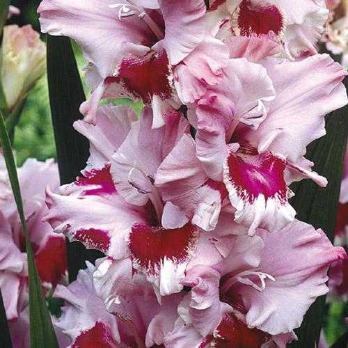 Hybrid Gladiolus Thats Love K Van Bourgondien