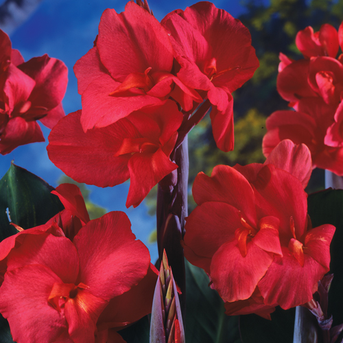 Giant Canna Ambassador (Black Knight)