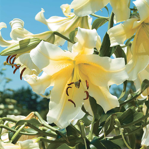 Lily Flower Bulbs for Spring Dutch planting Large Oriental Vivid forcing bulk perennial Lilium Lilies from Holland 3 Bulbs