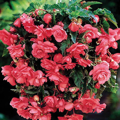 Double Hanging Basket Begonias Pink K Van Bourgondien