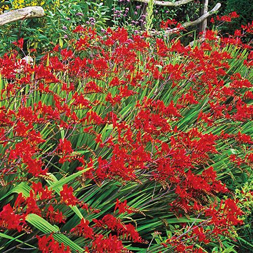 Perennials that attract hummingbirds crocosmia lucifer mightylinksfo