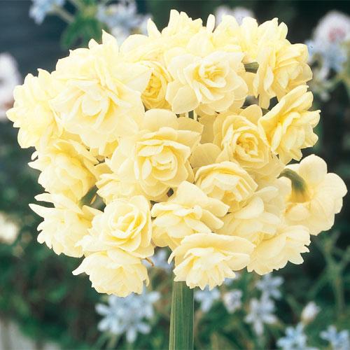 Narcissus Erlicheer (Summer Daffodil)