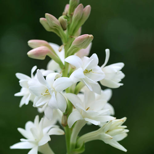 Bulbs Fragrant Double Tuberose Polianthes The Pearl