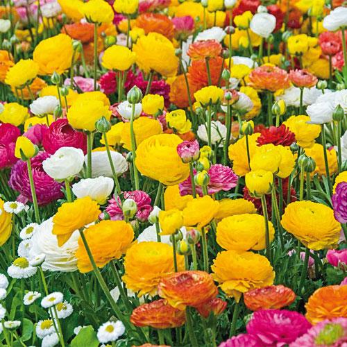 Persian Buttercup Mixed spring Flowering bulbs 100 Ranunculus