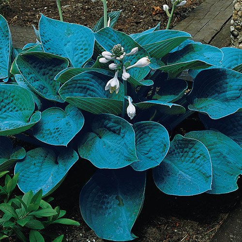 Shade Perennials Bressingham Blue Hosta From K Van Bourgondien