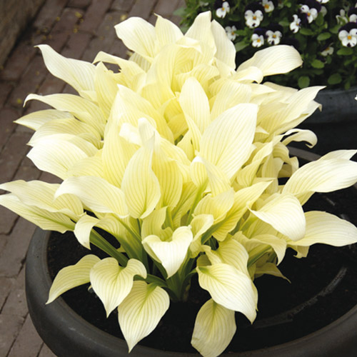 Shade Perennials White Feather Hosta From K Van Bourgondien