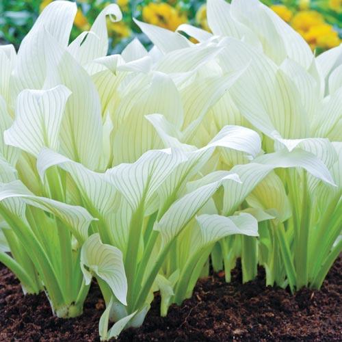 Shade perennials white feather hosta from k van bourgondien mightylinksfo